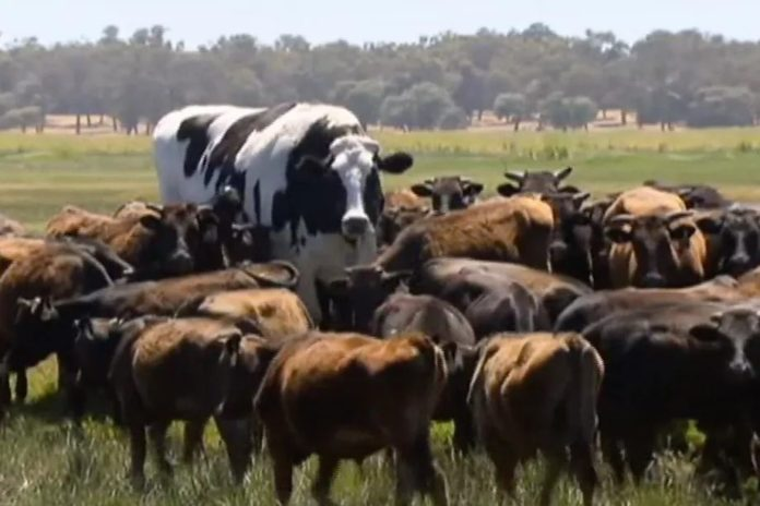knickers the biggest cow