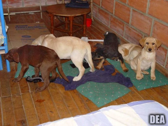 Veterinarian sentenced for using puppies as drug mules